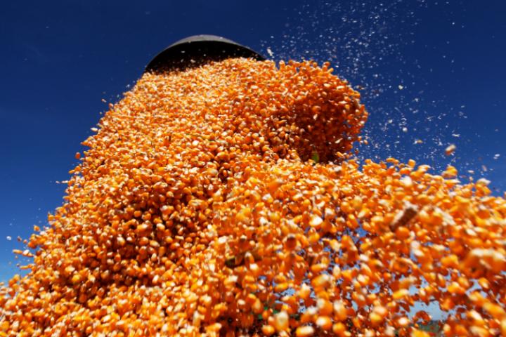 Produção de milho deve ser 8% maior do que no ano passado, estima IBGE