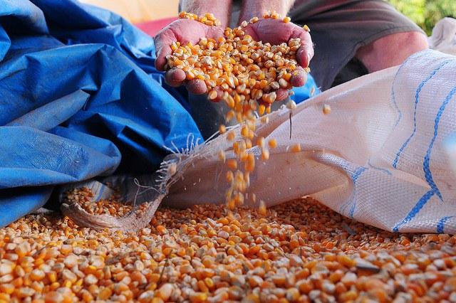 Preço do milho acumula alta de 6% em fevereiro, diz Cepea