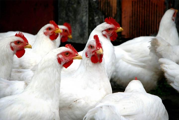 Preço do frango na granja se mantém estável a mais de 40 dias