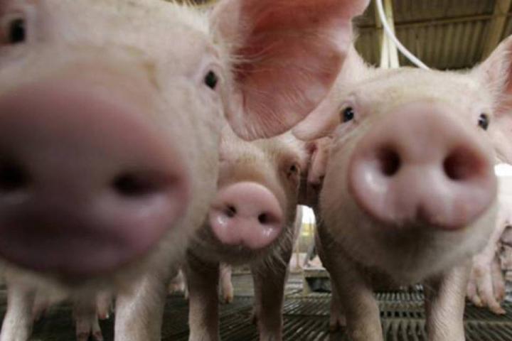 Peste suína pode ampliar venda de carne de porco para China, diz ministra