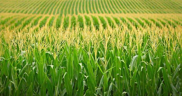 Cotações do milho recuam com progresso da Safra