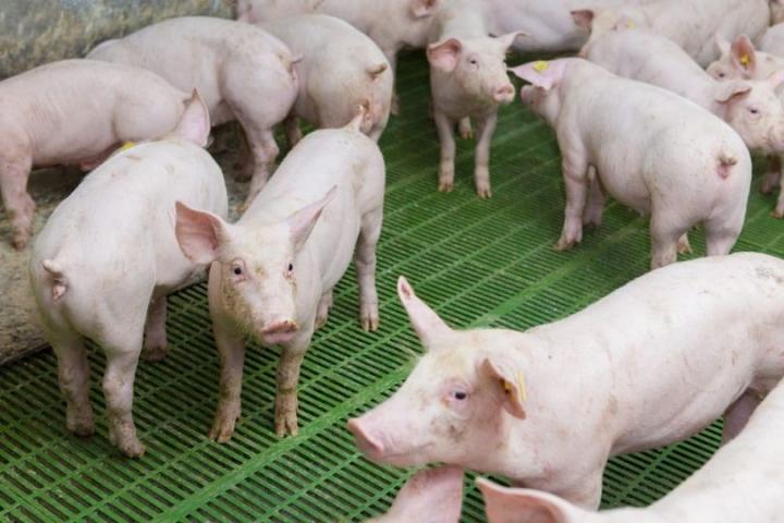 Importações de carne suína pela China saltam 62,8% em junho na comparação anual
