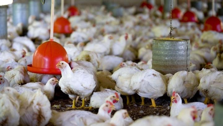 Frango: Diferença entre os preços das carnes de frango e suínas aumenta