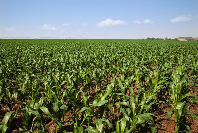 Plantio de milho verão alcança 90,5%