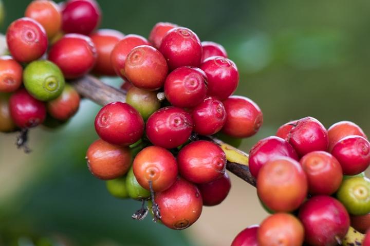 Café: comercialização da safra 2018/2019 avança para 59%
