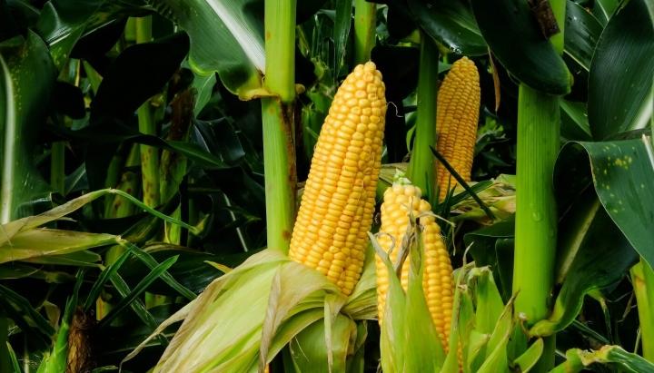 Milho: melhoramento genético de cultivares contribui para colheita recorde