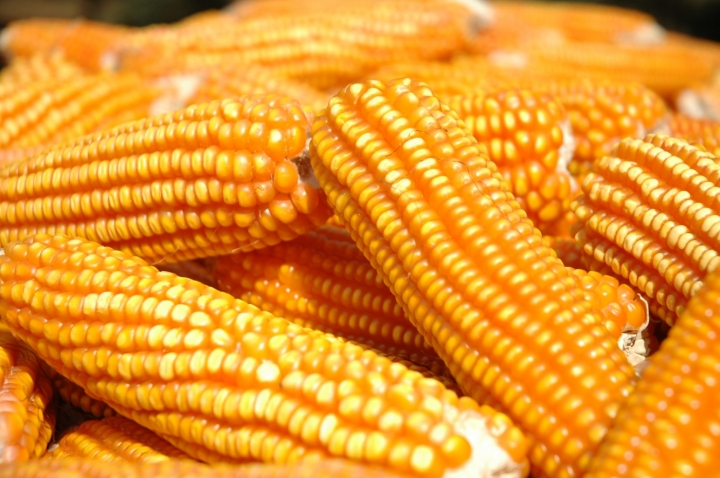 Preço do milho vai subir mais? Confira as perspectivas para esta semana