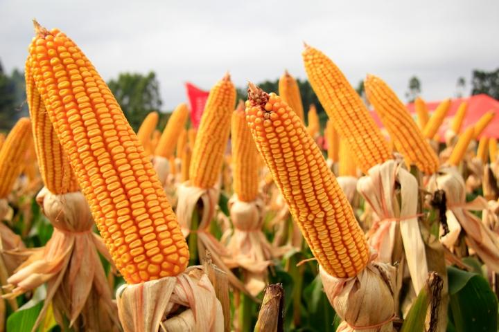 Ministério da Agricultura monitora ocorrência do enfezamento do milho